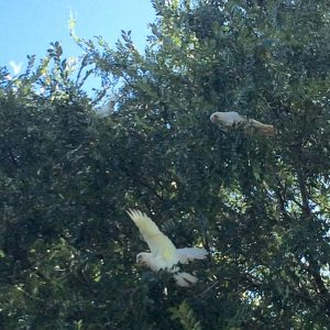 Wild cockatoos in the park